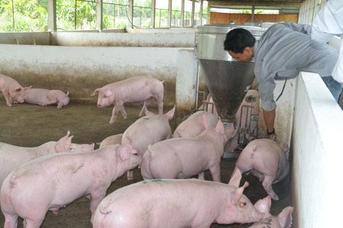 Kỹ thuật chăn nuôi lợn thịt siêu nạc siêu năng suất featured image